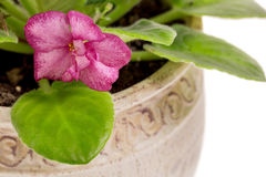 Beautiful violet flowers in pot. Royalty Free Stock Photo