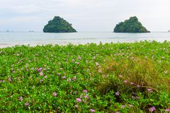 Beautiful violet flowers on a sandy beach. In the tropics, view of the sea and the rock Stock Images