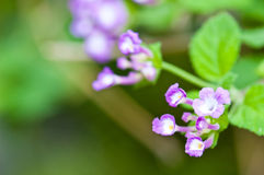 beautiful violet flowers in soft focus Stock Image