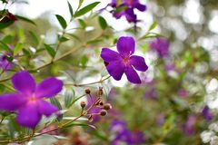 Beautiful violet flowers in thailand. Beautiful flowers in the forest of Thailand Royalty Free Stock Image