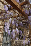 Beautiful violet flowers on wooden pergola Royalty Free Stock Images
