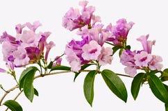 Beautiful violet garlic vine Stock Image