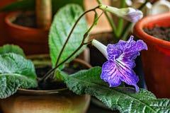 Beautiful violet Gloxinia flower, houseplant, closeup Royalty Free Stock Images