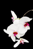 Beautiful violet home flowers orchids. Stock Photos