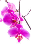Beautiful violet home flowers orchids. Stock Photography