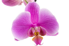 Beautiful violet home flowers orchids. Stock Image