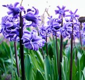 Beautiful Violet Hyacinth Close-up Stock Photos