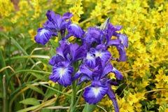 Beautiful violet iris flowers in the garden Stock Photos