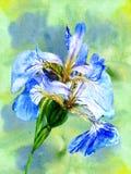 beautiful violet  irises Royalty Free Stock Photo