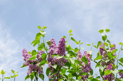 Beautiful violet lilac branch blue sky background Stock Image