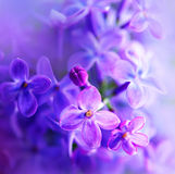 Beautiful violet lilac flower. Closeup Stock Images
