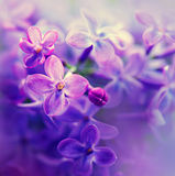 Beautiful violet lilac flower royalty free stock photos