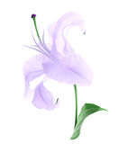 Beautiful violet lily Stock Image