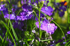 Beautiful violet lobelia Stock Photos
