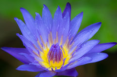 Beautiful violet lotus Royalty Free Stock Photo