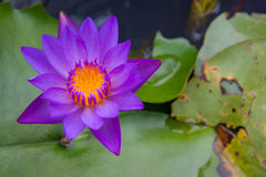 Beautiful violet lotus flower floating on green leaf background. Beautiful violet lotus flower with yellow in center floating on green leaf background Stock Photography