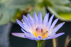 Beautiful violet lotus flower Royalty Free Stock Photo