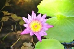 Violet lotus flower closeup. Beautiful violet lotus flower in top view Stock Photos