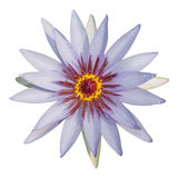 The beautiful violet lotus isolated Royalty Free Stock Photo