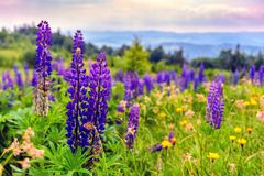 Violet lupine flowers in mountains Royalty Free Stock Photography