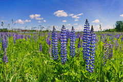 Beautiful violet lupines in a bright green grass against the background of the blue sky with white clouds in sunny day. Beautiful violet lupines in a bright royalty free stock images