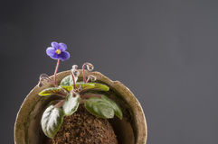 Beautiful violet in a moss ball Royalty Free Stock Photography