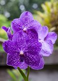 Beautiful violet orchid. In the garden thailand Royalty Free Stock Photography