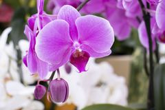 Beautiful violet orchid in the garden stock photography