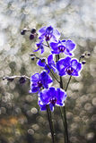 Beautiful violet orchid, phalaenopsis Royalty Free Stock Images