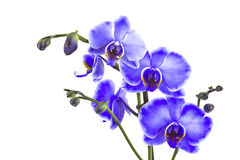 Beautiful violet orchid, phalaenopsis Stock Photography