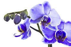 Beautiful violet orchid, phalaenopsis Royalty Free Stock Photography