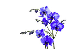 Beautiful violet orchid - phalaenopsis Stock Photography