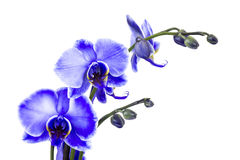 Beautiful violet orchid - phalaenopsis Royalty Free Stock Photos