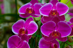 Beautiful violet Orchids flowers Stock Photos