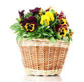 Beautiful violet pansies in basket Stock Images