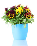 Beautiful violet pansies in flowerpot. On a white stock photography