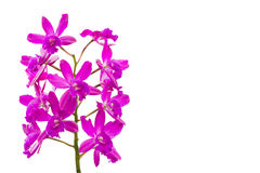 Beautiful violet Phalaenopsis orchid flowers. Royalty Free Stock Photo