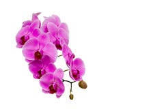 Beautiful violet Phalaenopsis orchid flowers. Stock Photo