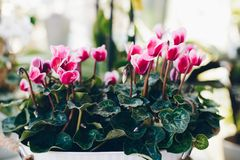 Beautiful violet pink cyclamen Stock Photography