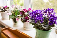 Beautiful violet in a pot on the windowsill Stock Image