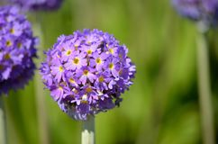 Beautiful violet and purple geranium x hybrid flower in summer sunshine. Macro photo stock photo