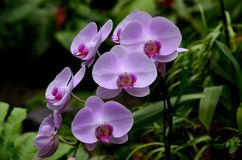 Beautiful violet purple orchid flowers. Singapore - September 28, 2014: A group of beautiful violet, soft purple orchid flowers on display at the National Orchid stock photos