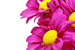Beautiful violet red dahlia flowers.Сloseup Royalty Free Stock Photo
