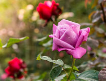 Beautiful violet rose in a garden Royalty Free Stock Photography