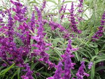 Beautiful violet salvias in the garden in spring Royalty Free Stock Images