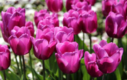 Beautiful violet tulips Royalty Free Stock Image