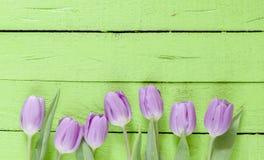 Beautiful violet Tulips Stock Photos