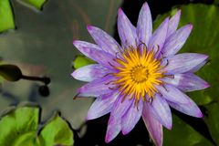 Beautiful violet water lily or lotus flower bloom on water Royalty Free Stock Photos