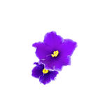 Beautiful violet on white background with space for your text or Stock Image