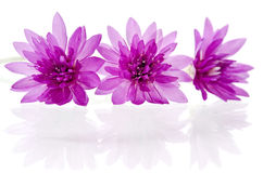 Beautiful violet wild flower Stock Image